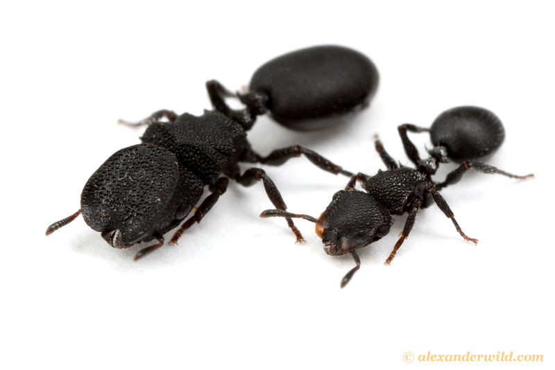 Worker Ant Vs Soldier Ant Major and minor workers of