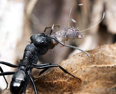 This predatory Rhytidoponera worker has captured a caterpillar and is carrying it back to her nest.  Mungkan Kandju National Park, Queensland, Australia