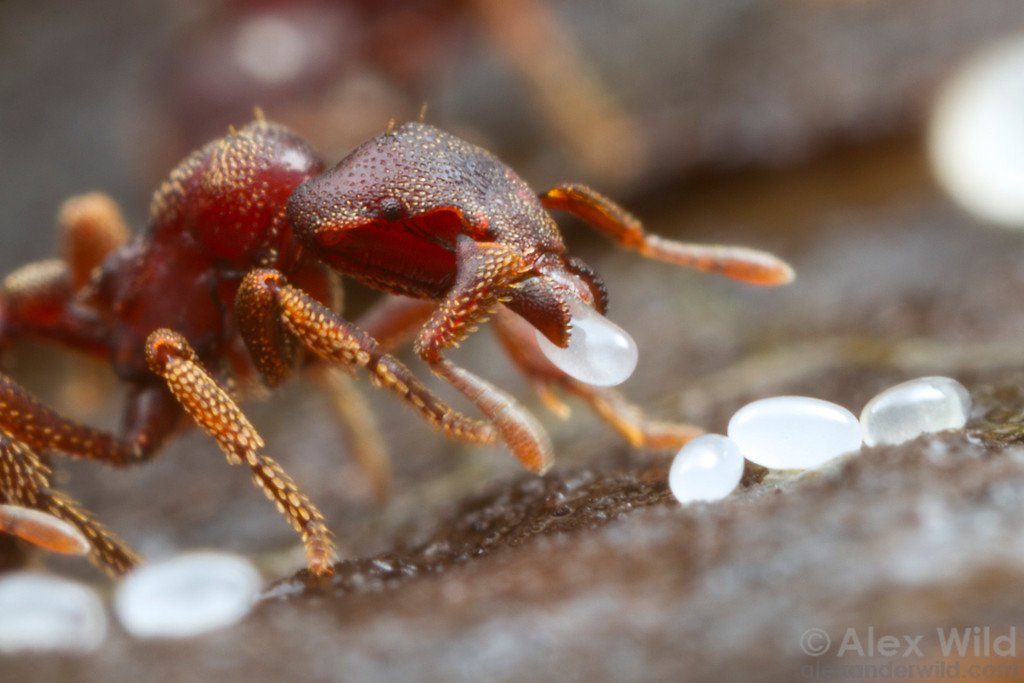 Eurhopalothrix procera - a worker ant delicately handles a freshly-laid egg.  Cape Tribulation, Queensland, Australia