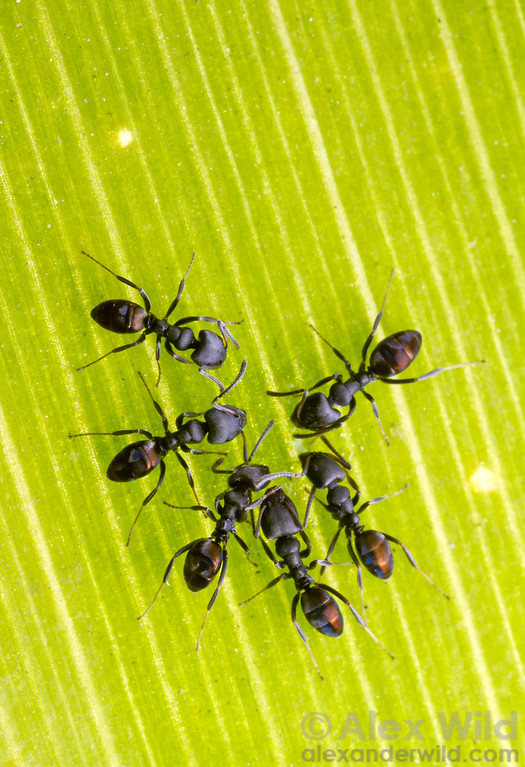 Ochetellus worker recruit to food. Ants in this subfamily often arrive in large numbers to resources, maintaining trails between their nest and persistent food source.  Diamond Creek, Victoria, Australia