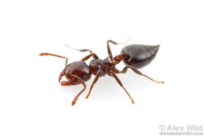 Portrait of an Australian acrobat ant.  Yandoit, Victoria, Australia