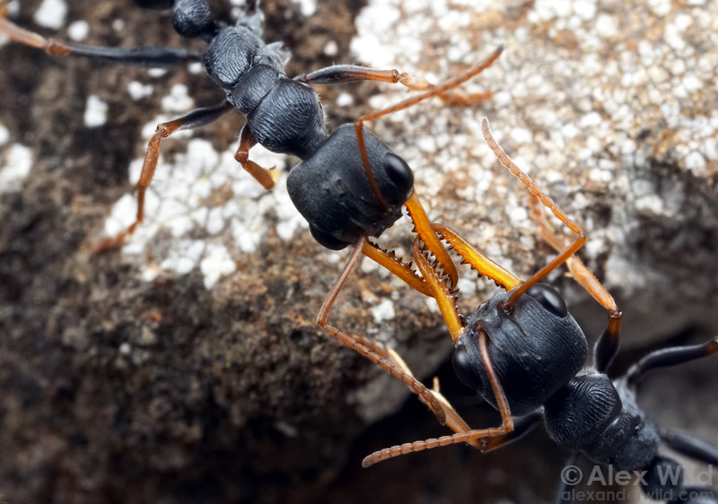 Myrmecia pilosula jack-jumper ants from neighboring nests, engaged in battle.  Tower Hill, Victoria, Australia
