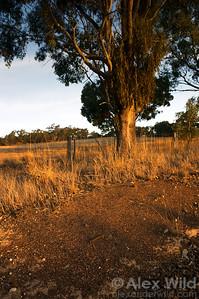 Iridomyrmex purpureus meat ants make large and conspicuous nests.  Yandoit, Victoria, Australia