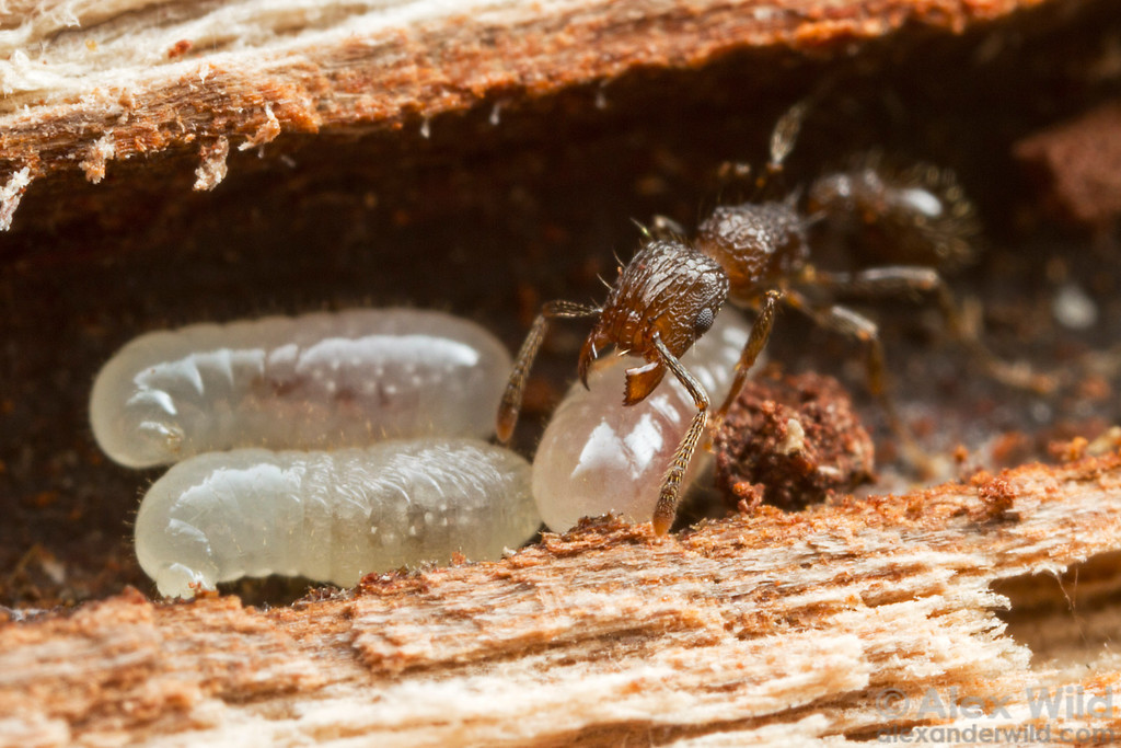 Tetramorium validiusculum - worker with larvae nesting in a hollow mangrove twig.  Cape Tribulation, Queensland, Australia