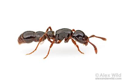 Cerapachys larvatus  Harrietville, Victoria, Australia