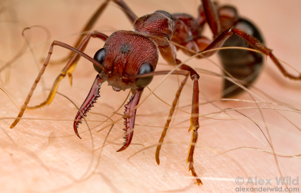 Australians know Myrmecia bull ants for their painful stings, which the ants readily employ to defend their nest from attack. Or, in this case, from a photographer.  Diamond Creek, Victoria, Australia