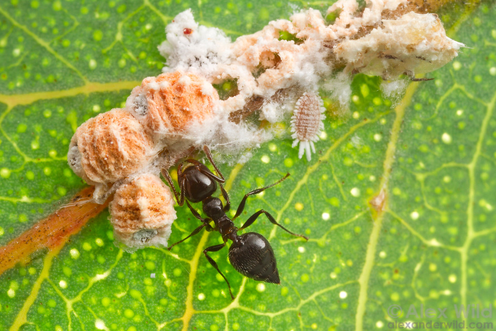 A Crematogaster acrobat ant worker tends eucalypt scale insects for honeydew.  Harrietville, Victoria, Australia