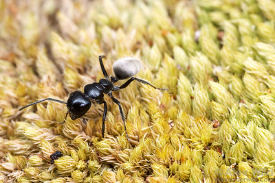 A Calomyrmex albertisi worker forages along the forest floor.  Mungkan Kandju National Park, Queensland, Australia