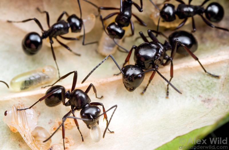 Unrolling a leaf nest of a small weaver ant Polyrhachis (Cyrtomyrma) robsoni reveals a queen.  Cape Tribulation, Queensland, Australia