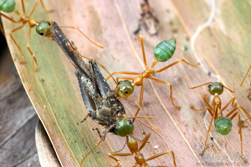 Oecophylla smaragdina green tree ants cooperate to bring a grasshopper carcass back to their nest.  Cape York Peninsula, Queensland, Australia