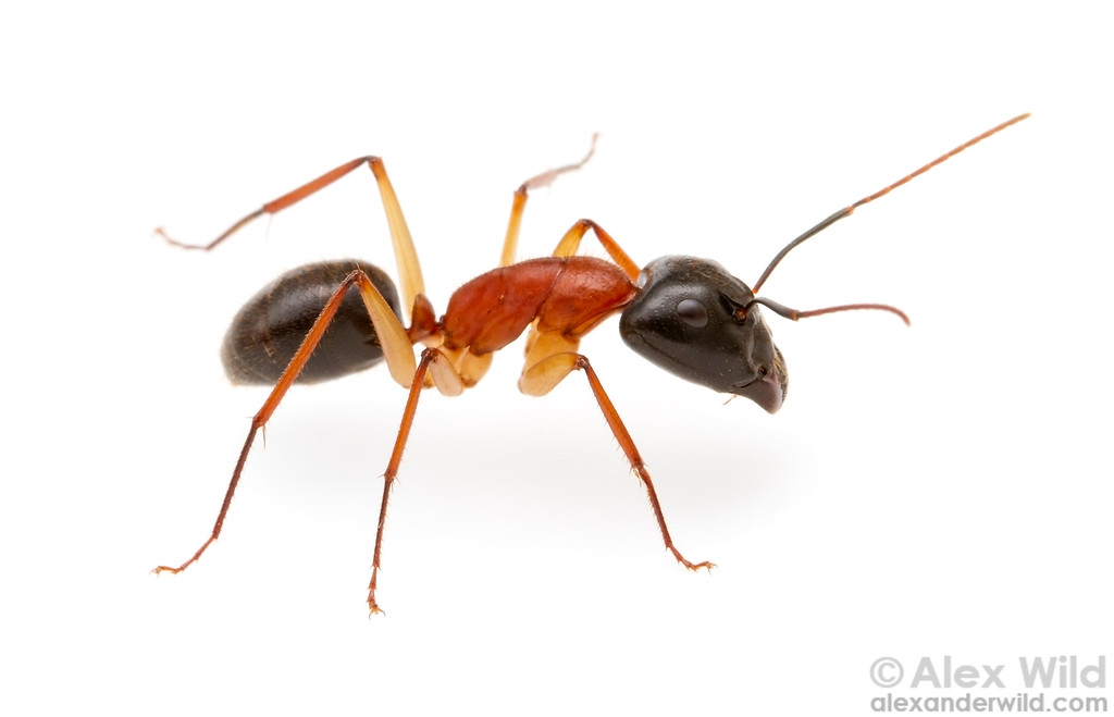 Camponotus nigriceps, the sugar ant, is a common night-active ant species in Australia.  Yandoit, Victoria, Australia
