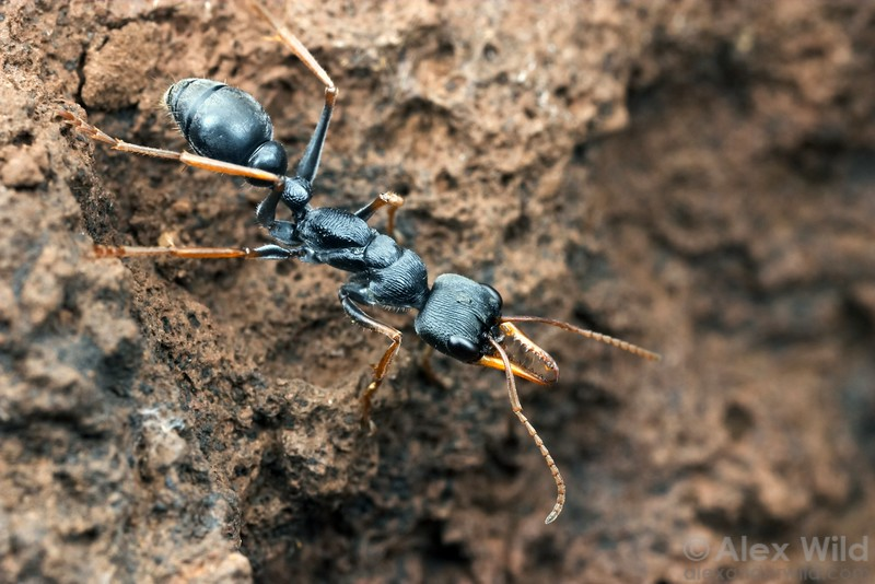 "Myrmecia pilosula are spritely little bull ants with a distinctive jerky gait.  They are capable of jumping several centimeters, a behavior that has earned them the name ""Jack-Jumper"".   Tower Hill, Victoria, Australia"