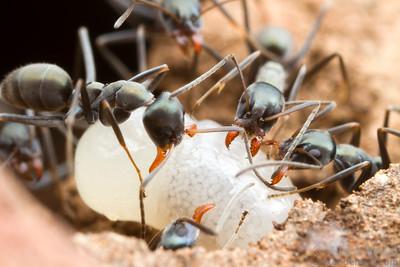 Iridomyrmex bicknelli workers carry a queen larva in the nest.  Yandoit, Victoria, Australia