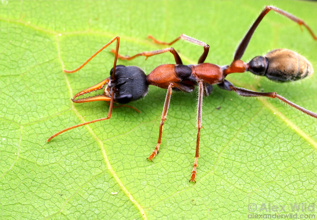 The bright colors on this Myrmecia nigrocincta bull ant warn predators of the painful sting she can deliver.  Cape Tribulation, Queensland, Australia