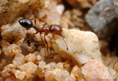 Monomorium rothsteini, worker removing a heavy stone from the nest.  Yandoit, Victoria, Australia
