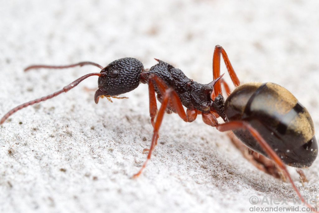 Long spines on this Dolichoderus doriae ant protect the vulnerable neck and waist joints.  Powers Lookout, Victoria, Australia
