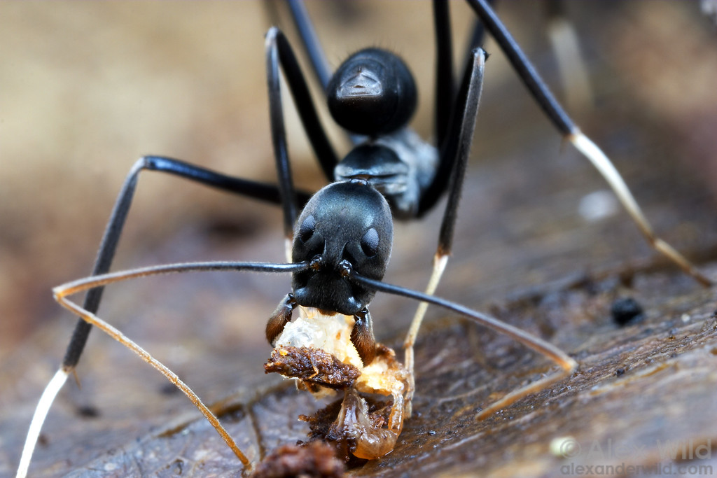 Leptomyrmex unicolor  Cape Tribulation, Queensland, Australia