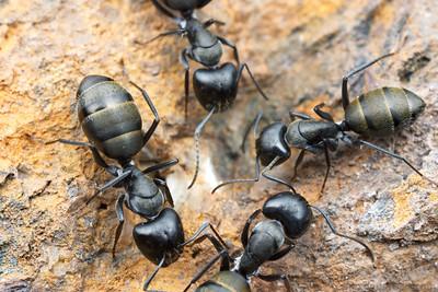 Camponotus aeneopilosus  Yandoit, Victoria, Australia