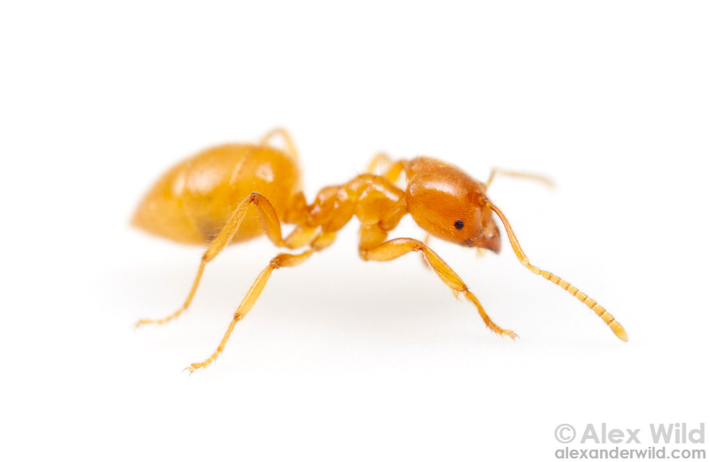 Acropyga acutiventris - root aphid ant. Small eyes, a compact body, and yellow coloration are traits typical of subterranean ants.  Cape Tribulation, Queensland, Australia