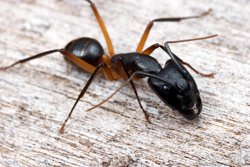 Camponotus novaehollandiae  Cape York Peninsula, Queensland, Australia