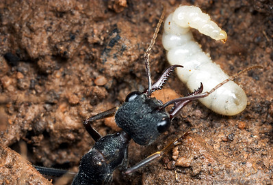 Ant colonies usually start small.  Here a young bull ant queen (Myrmecia pyriformis) tends to a larva in her incipient nest.  Yandoit, Victoria, Australia