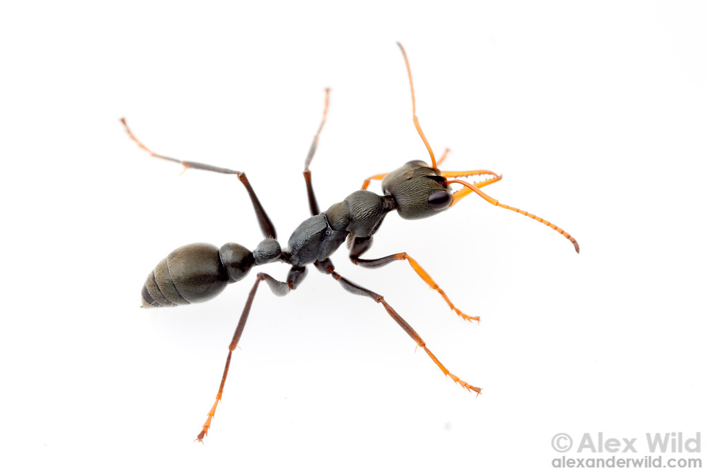 Myrmecia pilosula, the jack jumper ant, is noted for its sting. A higher percentage of people (3%) are at risk of life-threatening allergic response to a jack-jumper sting than that of any other insect.  Harrietville, Victoria, Australia