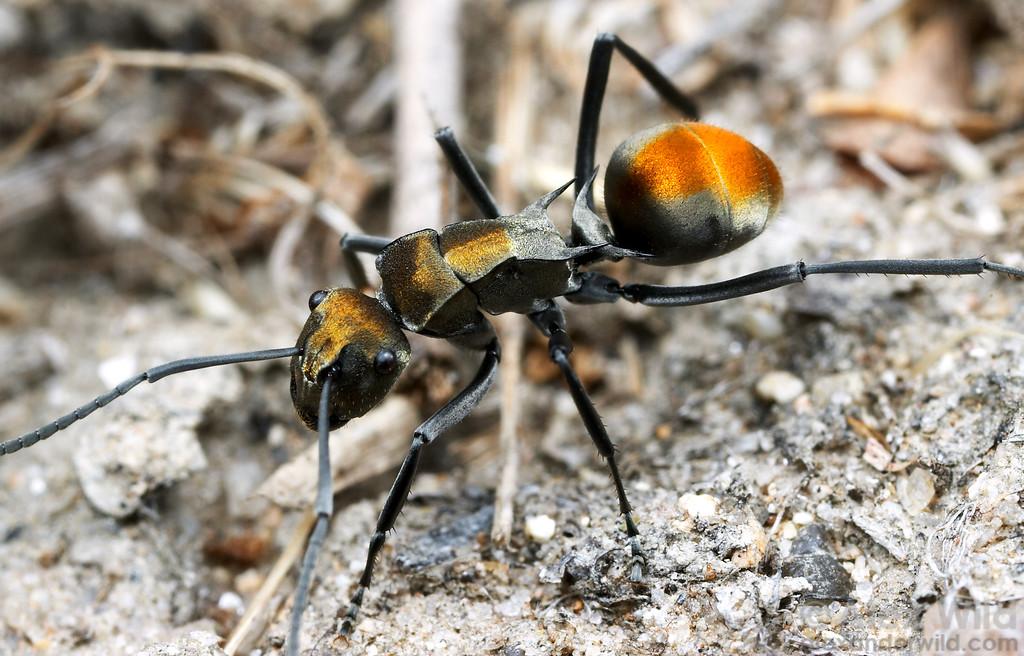 Polyrhachis (Hagiomyrma) sp. golden spiny ant  Coen, Queensland, Australia