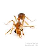 Australian Ants : Australian AntsThe wayward southern continent of Australia is famous for the strange and relictual creatures that have evolved in nearly complete isolation. The ants are no exception. Australia's ant fauna is both diverse and exceptionally abundant, with a host of species found nowhere else.
