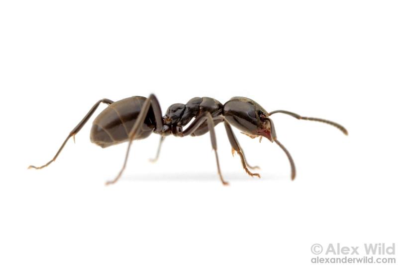 Portrait of an Anonychomyrma worker ant.  Harrietville, Victoria, Australia
