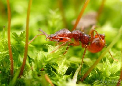 An Acanthognathus ocellatus forager hunts through a bed of moss  Venezuela