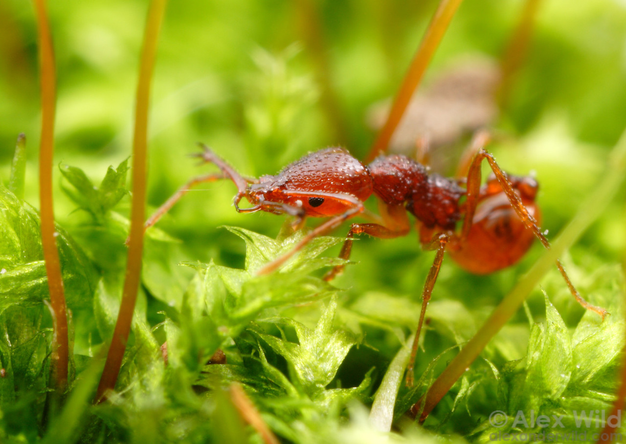 An Acanthognathus ocellatus forager hunts through a bed of moss  Venezuela