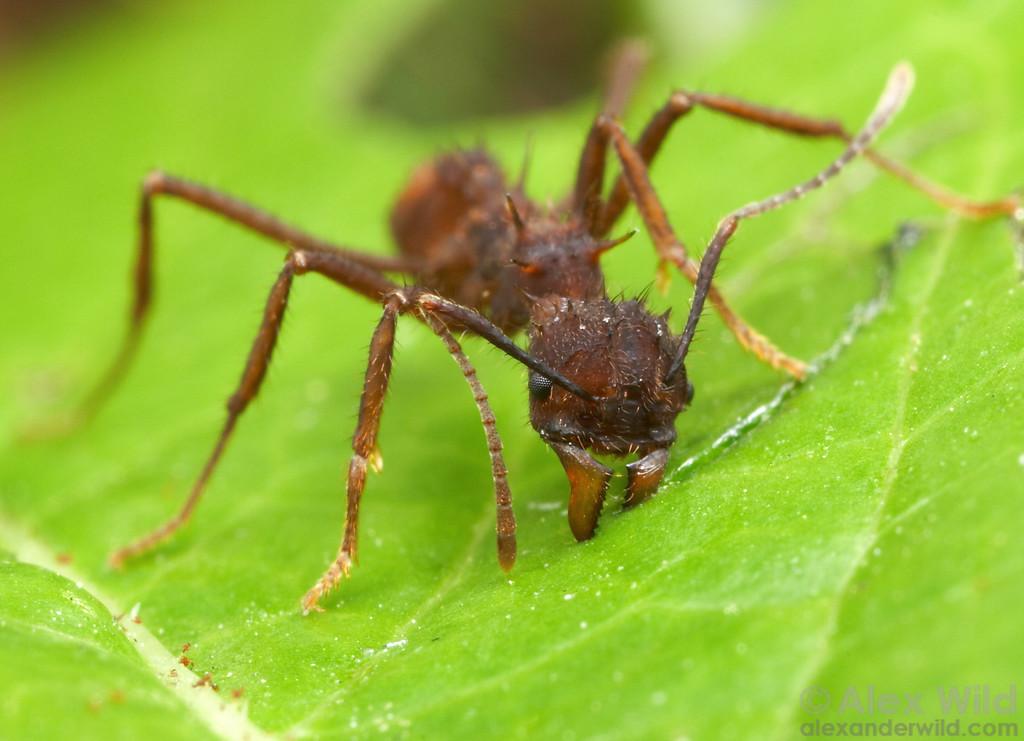 Acromyrmex coronatus