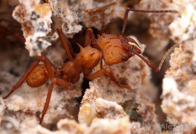 Acromyrmex echinatior