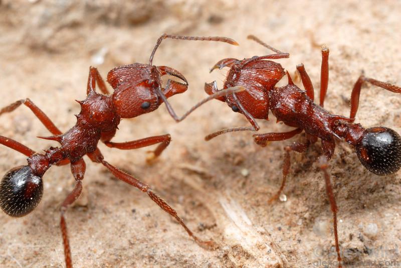 Acromyrmex striatus