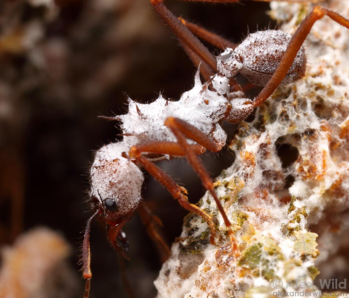 Acromyrmex sp. cf. octospinosus