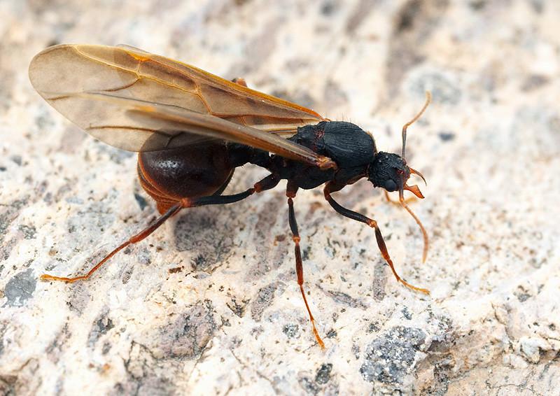 Acromyrmex versicolor