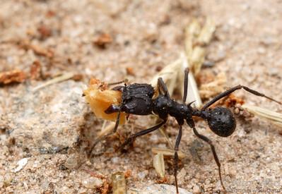 Acromyrmex lobicornis