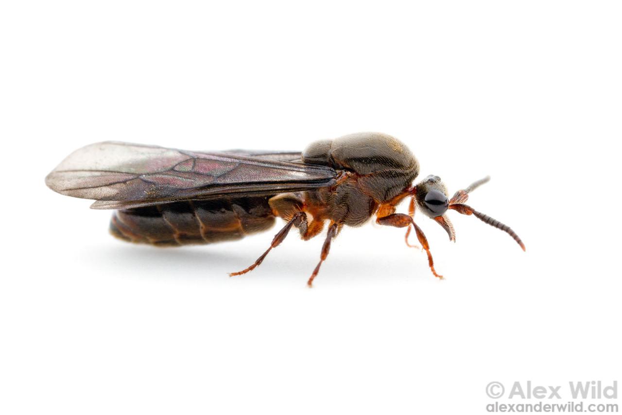 Aenictus sp. male.