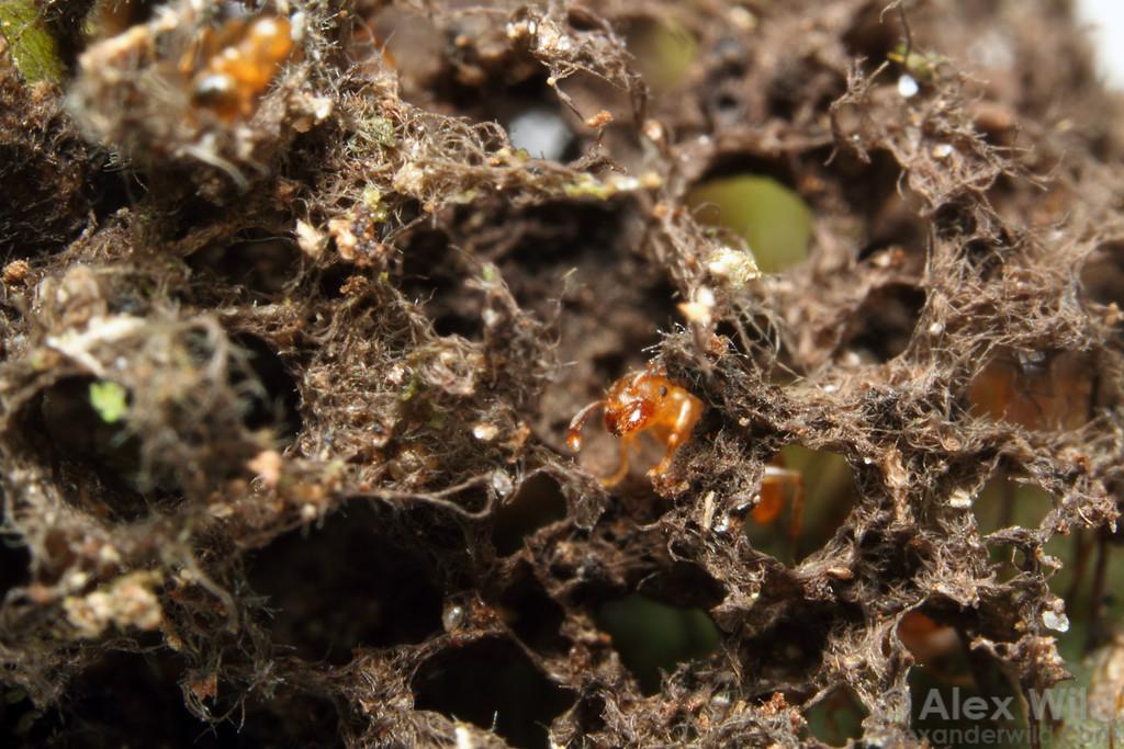 Allomerus octoarticulatus