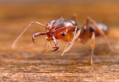 Anochetus paripungens  Northern Territory, Australia