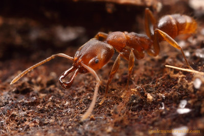 Anochetus mayri is a small species broadly distributed in the Caribbean and Central and South America.  This individual is from a population that has recently colonized suburban Florida, becoming one of many non-native ant species in the state.  West Palm Beach, Florida, USA