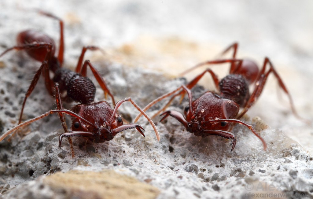 Anochetus trap-jaw ants.  Danum Valley Field Centre, Sabah Borneo