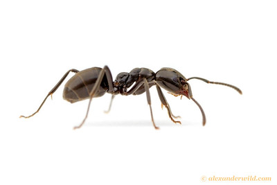 Portrait of an Anonychomyrma worker ant.  Harrietville, Victoria, Australia
