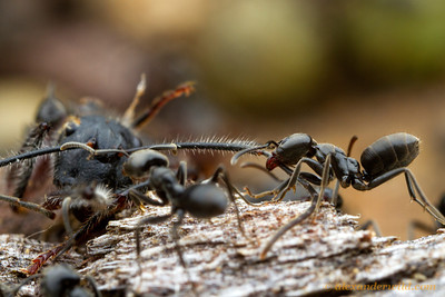 Ants are dominant scavengers in most terrestrial ecosystems. Carcasses of other arthropods are quickly discovered and carried back to the nest. Here, Anonychomyrma workers cooperate to transport the body of a dead carpenter ant.  Harrietville, Vicotoria, Australia