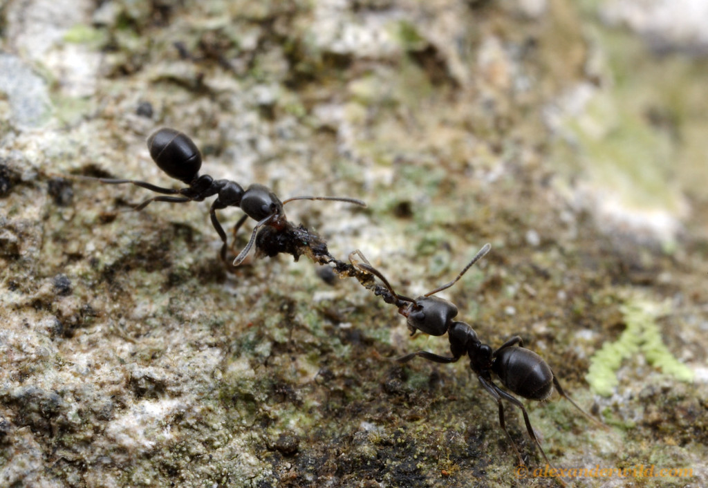 A pair of Anonychomyrma ants cooperate to bring a piece of an insect carcass back to their nest.    Cape Tribulation, Queensland, Australia