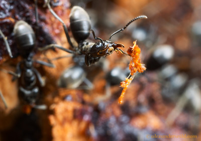 An Anonychomyrma worker drops a bit of wood pulp removed from an excavation deep within the nest tree.  Wilson's Promontory National Park, Victoria, Australia