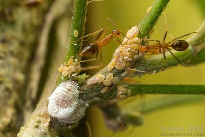 Anoplolepis gracilipes