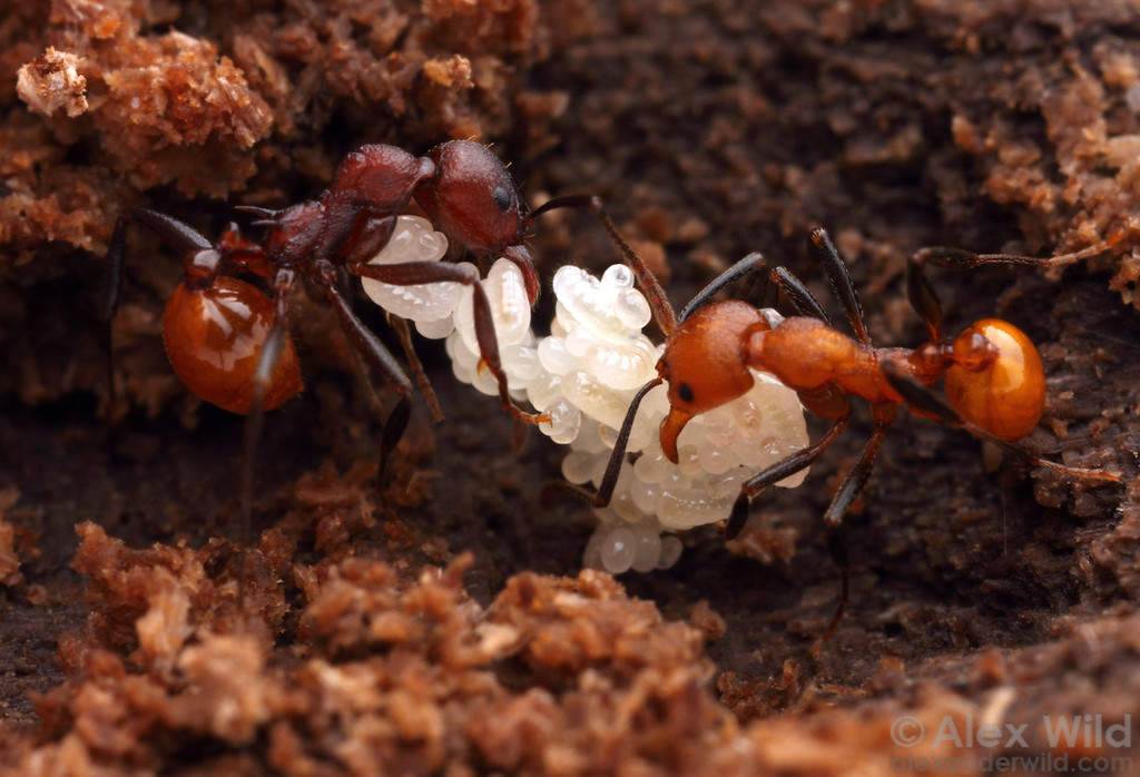 Aphaenogaster tennesseensis with eggs and young larvae.  The difference in color between the two adult ants is due to their age, as ants darken over time.