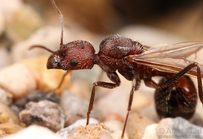 A young queen harvester ant (Aphaenogaster albisetosa) emerges from the nest on the morning of her mating flight.  Green Valley, Arizona, USA