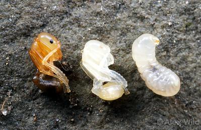 Metamorphosis in Aphaenogaster picea.  South Bristol, New York, USA